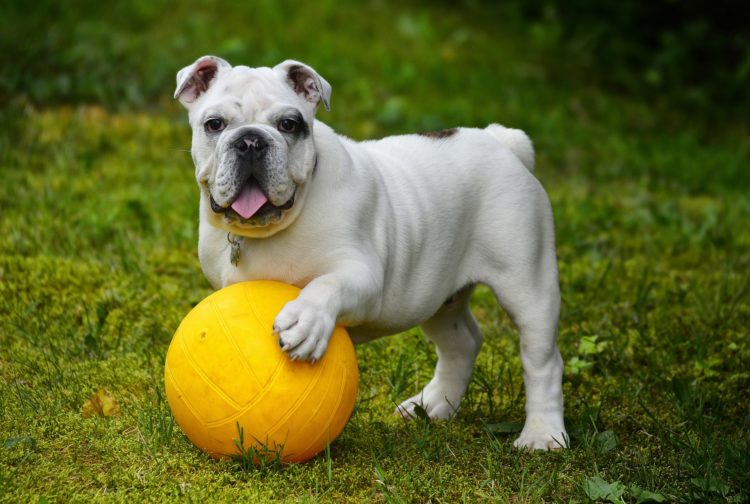 Are Bulldogs Hypoallergenic? Things Allergic Families Can Do