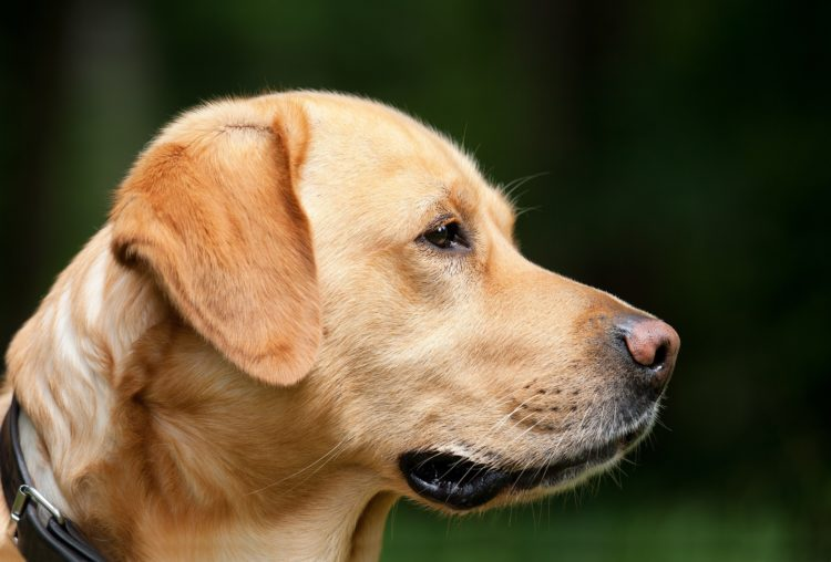 Are Labs Hypoallergenic? Tips for the Allergic Pet Owner