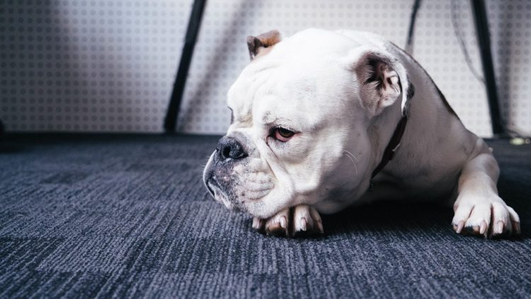 sleepy indoors bulldog